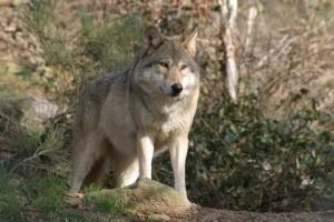 Loup en Lozère